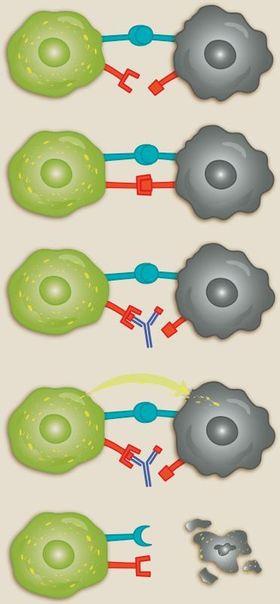 Nye legemidler: Immuncellen (grønn) oppdager kreftcellen (svart) ved å gjenkjenne overflaten som noe fremmed. Kreftcellen har andre proteiner (røde) på overflaten som kan brukes til å stoppe angrepet fra immuncellen. Nye legemidler (antistoff, i blått) hindrer at immuncellen mottar stoppsignalet. Når immuncellen ikke får stoppsignalet, sender den ut enzymer (gul pil) som dreper kreftcellen. Illustrasjon: Kristin Granli/Kreftforeningen.
