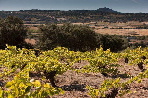 Bernabelevas vinmarker med gamle vinstokker og et sandholdig jordsmonn.