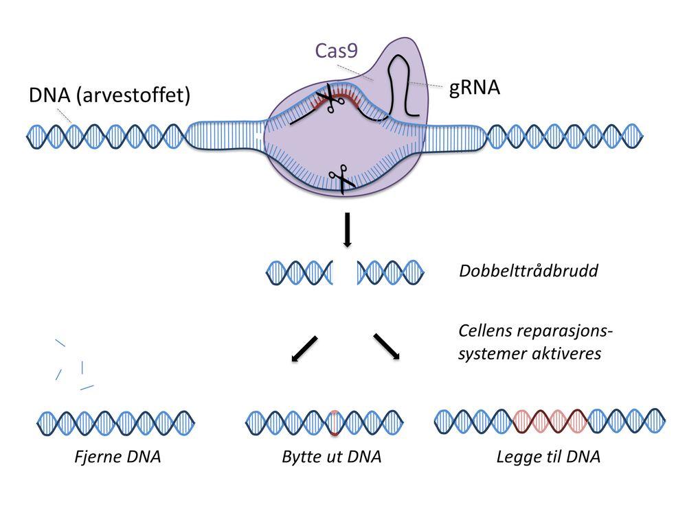 CRISPR: RNA-strengen peker ut akkurat hvor det skal klippes, og så gjør CAS9 saksejobben. Deretter reparerer cellen kuttet selv. Teknikken kan brukes til å fjerne uønskede gener, bytte ut med friske gener eller legge til gener i DNA-strengen.