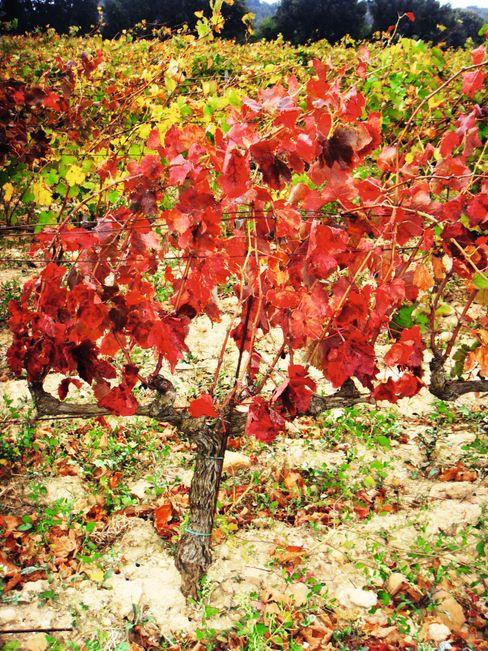 Sykdommen gjør at bladene blir røde før druene er modne.