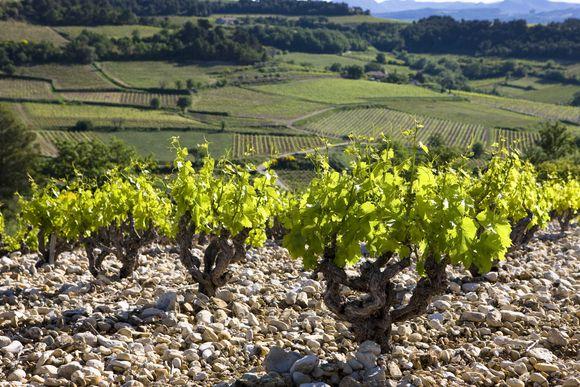 Fra produsentens vinmarker i Rasteau - en av de 18 Côtes-du-Rhône-villages.