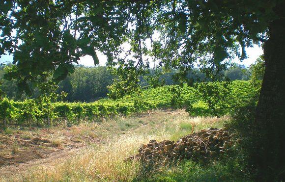 Vinmarkene, til sammen 8,5 hektar, ligger ved 250 m.o.h. rett utenfor Montalcino by.