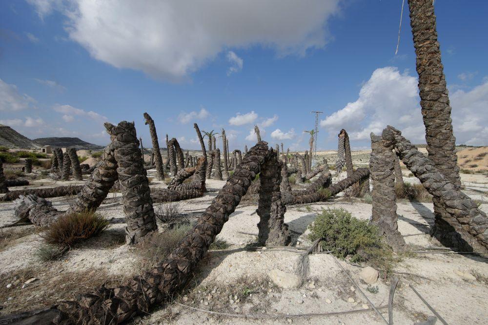 På grunn av lite nedbør har palmene ved Campus del Rio i Murcia, Spania, tørket ut.
