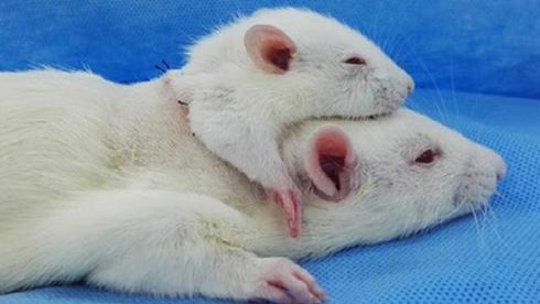 Hodetransplantasjon: Rotter overlever med et ekstra hode