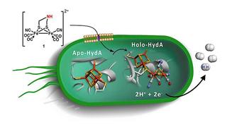 Tarmbakterier kan produsere hydrogengass