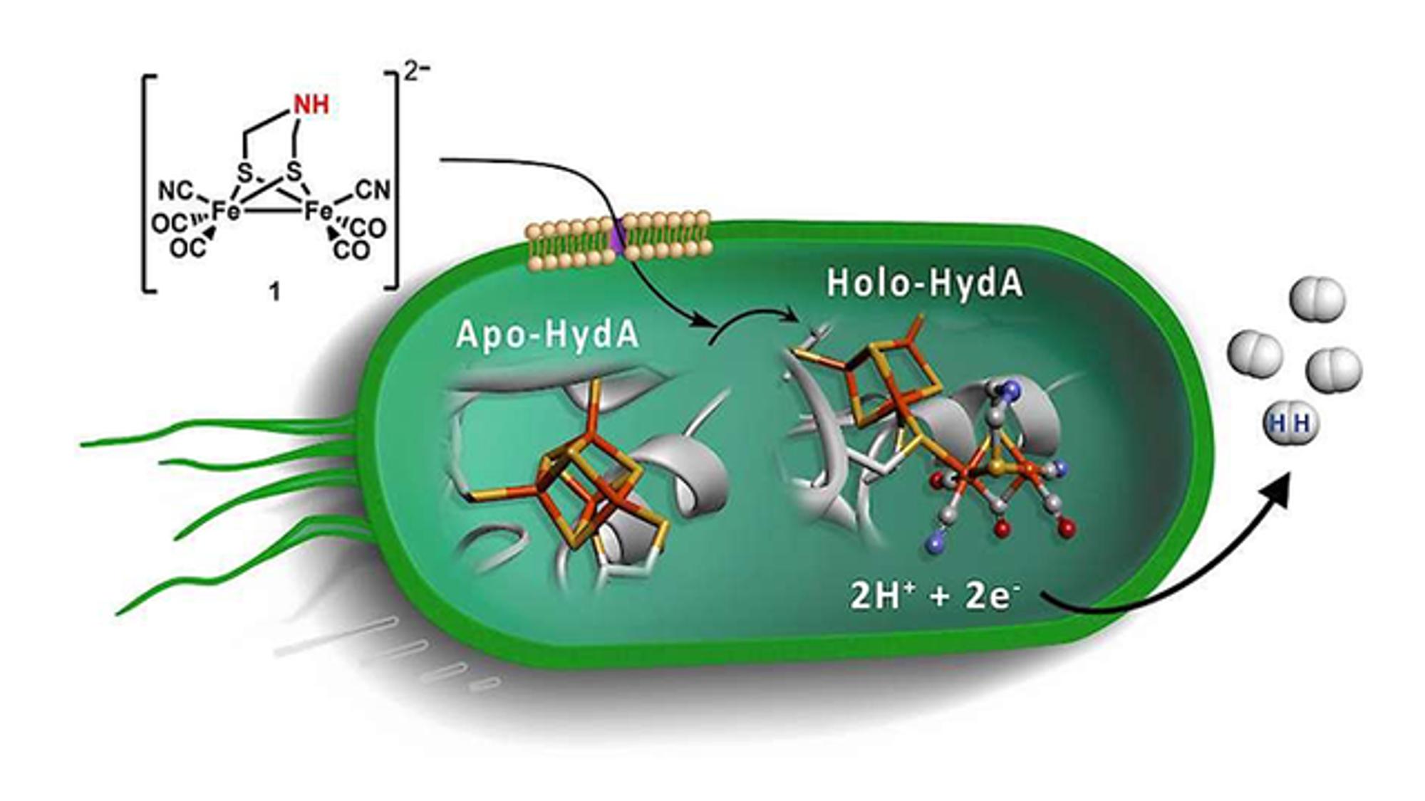 Forskere fra Uppsala har presentert en ny metode for å produsere hydrogengass ved hjelp av bakterier. Det har de gjort ved å lage et kunstig gen og satt det inn i en celle av E coli-bakterier, som er vanlige i tarmene til både mennesker og dyr.