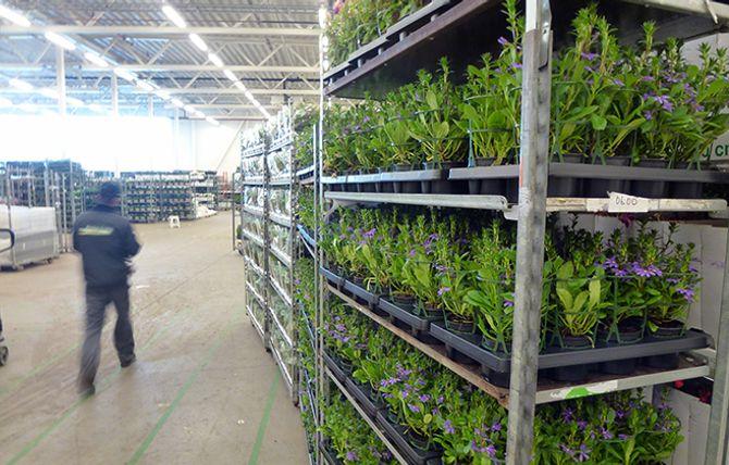 BLOMSTERHAV: På lageret i Lier bugner det til enhver tid av friske blomster og grønne planter. Årlig er mer enn 100 millioner stilker, potteplanter og blomster innom Mester Grønns hovedkvarter.