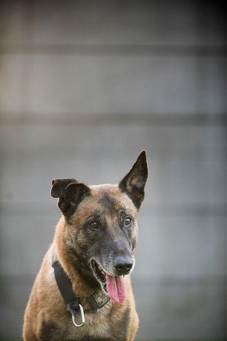 Maller, schaefere og andre hunder skal nå kjøpes inn av staten. Mindre økonomisk risiko for hundeførerne.