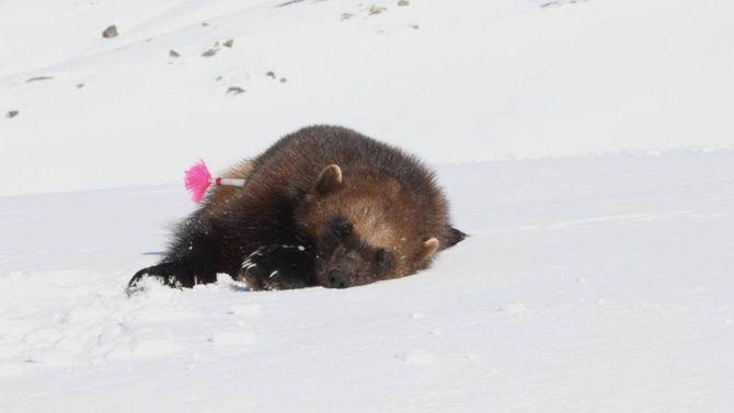 Ein av hannjervane som vart avliva fredag 17. april 2015.