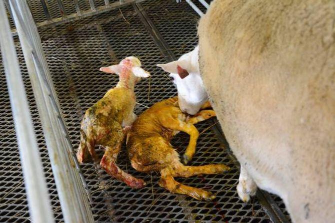 VELKOMST: Det gjekk ikkje lang tid for to nye lam er komen til verda.