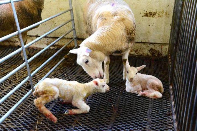 TØFF PROSESS: Det er hardt å bli fødd. Lammet mekrer og søya breker attende. Det er ingen tvil om at dei kommuniserer. Det er viktig at søya får stå i fred frå andre søyer når ho skal lamme. Elles er det ikkje sikkert ho aksepterar lamma som sine.