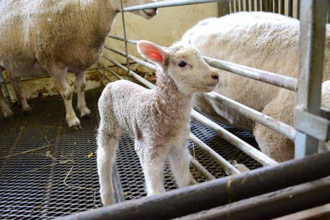 FRISKE LAM BETYR ALT:Begynner lamminga bra, fortsett det stort sett slik, og omvendt. Fôr er viktig for å få friske lam, det gjeld også medan søya er drektig. Brørne Haugen nyttar seg av fjellbeite og fortel at detaller kjekkaste er å få sauane ut på graset.