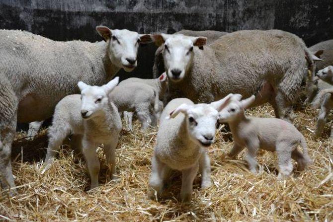 STORE NOK: Søyene med lamma sine treng nokre dagar før dei kan koma innatt i ein større flokk.Desse lamma er nokre dagar gamle. Det er eit tydeleg hierarki i flokken, der dei siste som kjem inn må tåle litt juling den første dagen. Ein nykommar skal rett og slett ikkje trø for nær.
