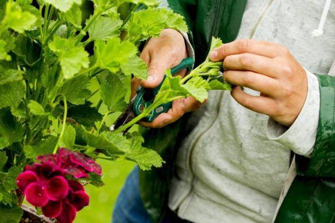 STIKLING: Klipp av ein stengel rett nedanfor eit bladfeste.