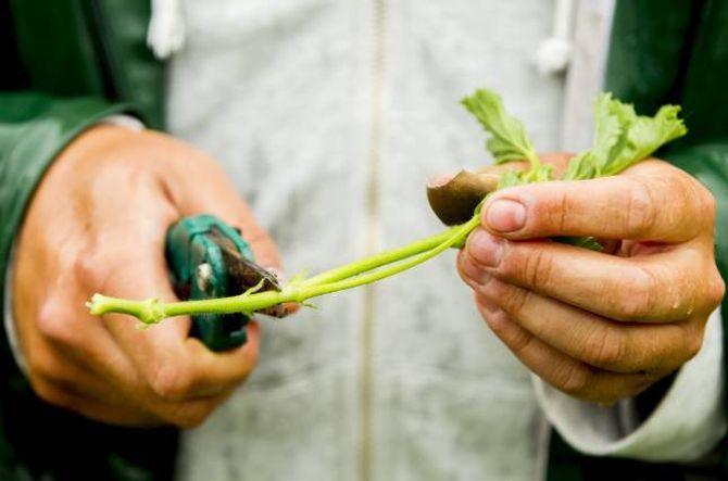 BLADFJERNING: Ta vekk alle blada på den delen av stiklingen som skal ned i jorda.
