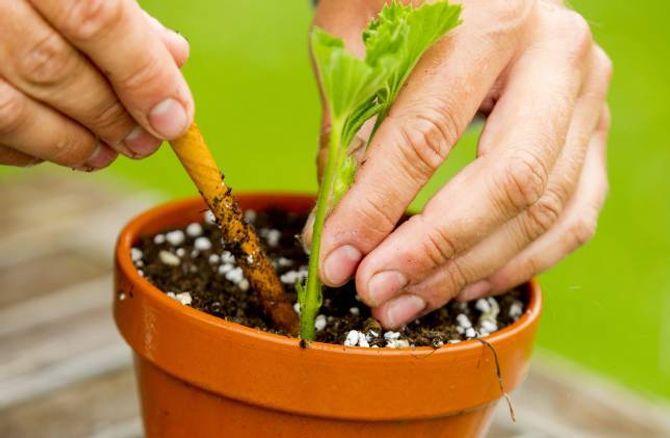 PLASSERING: Set helst stiklingen langs kanten av potta, der er det varmare og betre drenering.