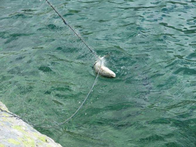 """FOR MYKJE SMÅFISK: Intensivt fiske med småmaska garn er ein måte få opp kvaliteten på auren. Er vatna for """"overbefolka"""", blir ikkje fisken stor og det er ikkje så interessant å fiska, fortel Torfinn Grøttebø i Lærdal Jeger og Fiskarlag."""