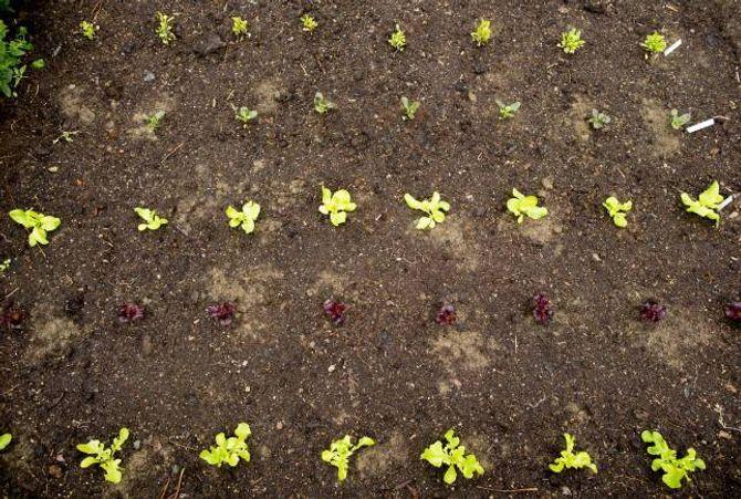 FORMELT: Sjølv om hagen elles er frodig og viltveksande, er kjøkkenhagen stram og formell.