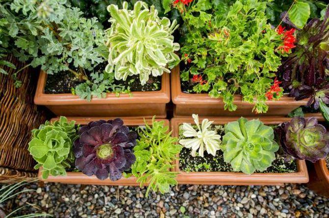 EKSOTISK: I hagen på Holter kan ein få inspirasjon til å utvide spekteret av planter i eigen hage. Her er ulike sortar aeonium.
