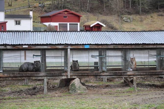 USIKKER: Ivar Molde veit ikkje kva næring som kan erstatte dei 900 revane han har.