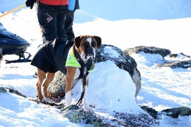 HELS PÅ BELLA: – BoxerenBella er truleg verdas einaste godkjende lavinehund. Det er stas, fortel eigar og hundeførar Wenche Nilsen.
