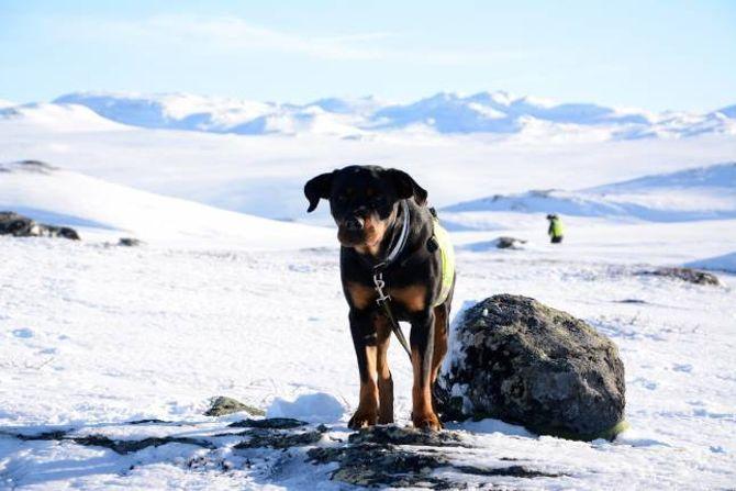DIXIE: Hunden til Charles Johnsen er rottweileren Dixie på 7år. Ho er godkjend som redningshund sommar og vinter. Til neste år skal Dixie opp til ny godkjenning. Det skjer kvart andre år.