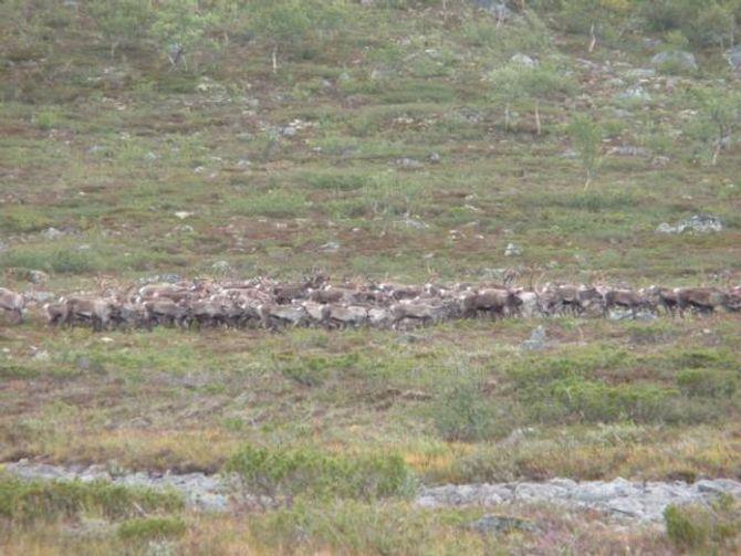 URNORSK: Å jakta på villrein er noko av det mest norske ein kan driva med innan jakt, meiner Jasmin. Torsdag startar jakta på villreinen.