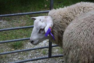 MERKA: Ei lilla sløyfe indikerer at dette er eit lam som dommarane meiner har gode indeksar.