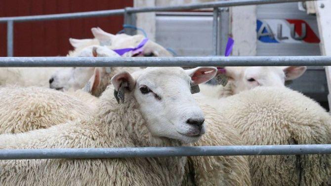 GOD KVALITET: Bøndene rapporterer om god kvalitet på lamma i år med mykje kjøtt og lite feitt. For Hovlands del er det snakk om rekordvekter, seier han.