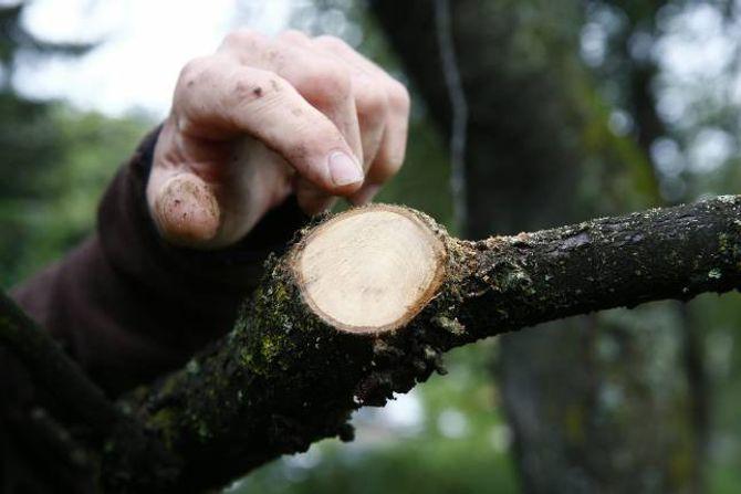 SNITT: Viss det er for kaldt, kan store sårsnitt gi ei betydeleg belastning for treet.