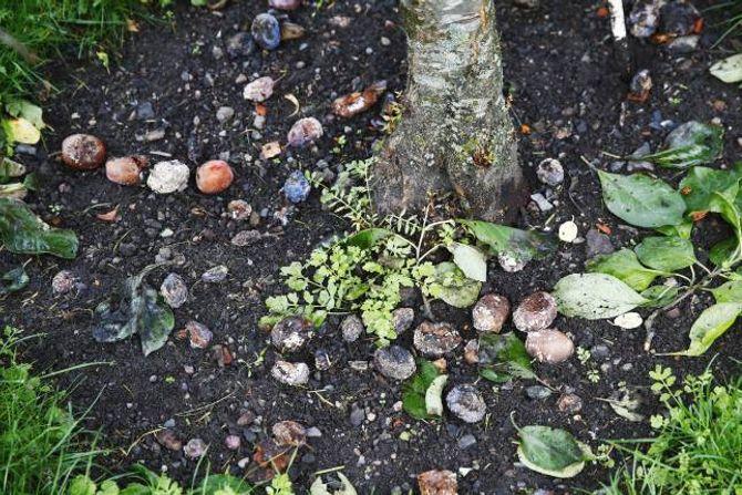 FJERN: Sjuk frukt og dødt materiale må fjernast for ikkje å spreie sopp og sjukdom.