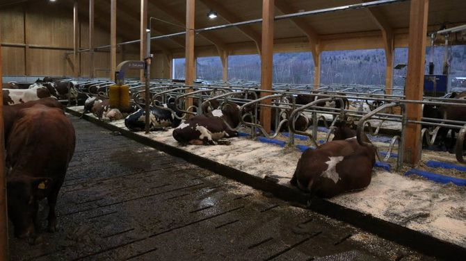 KRAV: Kravet om lausdrift trer i kraft i 2024. I fjøsen til Ljøsne kan kyrne gå fritt som dei vil. Det er med omsyn til dyrevelferda at dette kravet er kome.