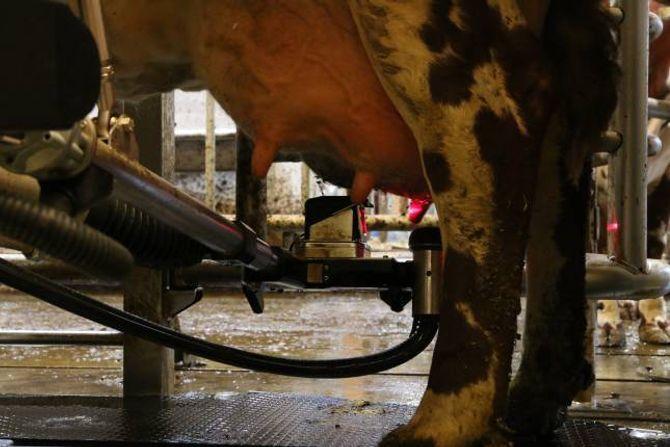 MODERNE: Ein robotarm vaskar spenene medan kua et fôr før den startar mjølkinga.