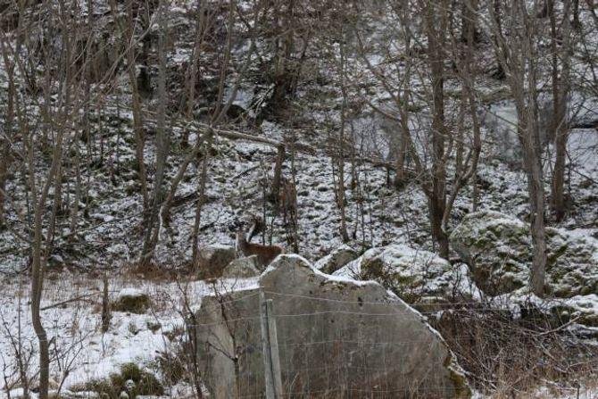 MYKJE HJORT LANGS VEGENE: Rett bak steinen står ei kolle og oppe i bakken bak henne kalven - midt på lyse dagen. Desse står 15-20 meter frå rv. 5 på Bergo rett sør om sentrum på Lærdalsøyri.