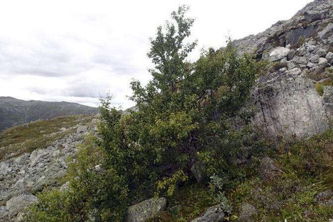 1329 MOH: Det øvste treet i Lærdalen får kanskje følgje av fleire bjørker i åra framover, slik at det blir den øvste skogen.