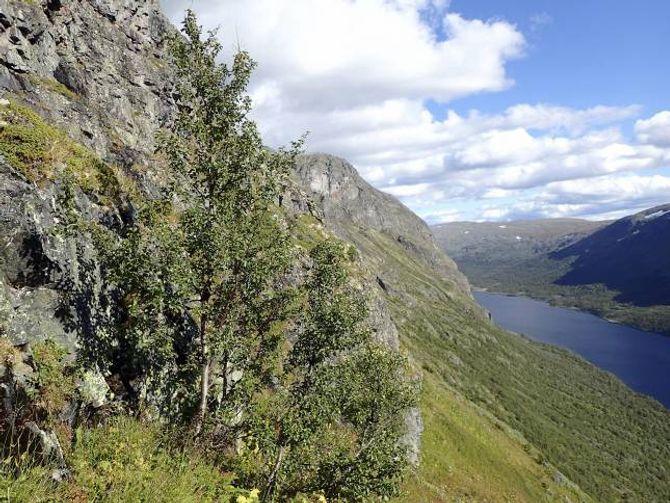 REKORDTRE: Det høgastliggjande treet i Noreg, som står i Sikkilsdalen, har enno ikkje rokke å bli ein attraksjon. Men her er det.
