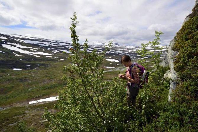 REGISTRERING: Inger Kristine Volden måler tregrensa på eitt av målepunkta i Lærdalen.
