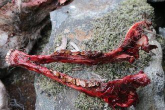 INNSAMLING: Slik ser ein kjeve ut når jegeren har skjært den ut for at den skal sendast til analyse. Arkiv