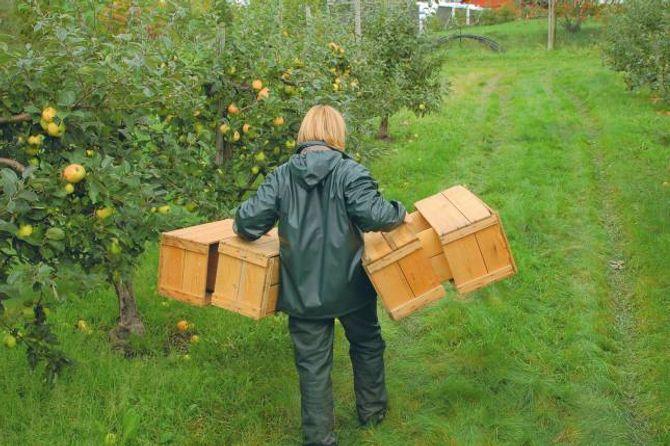 KRAKTERISTISKE KASSAR: Eplekassar høyrde med på fruktgardane over heile landet. Mange stader var det vanleg vinterarbeid å laga slike kassar.