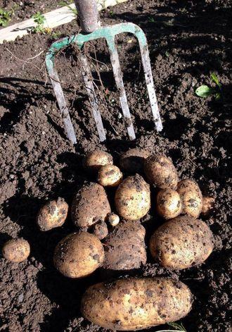 Gamle potetsortar er blitt populære samleobjekt som kombinerer kulturhistorie, vern av genressursar og unike kulinariske opplevingar.