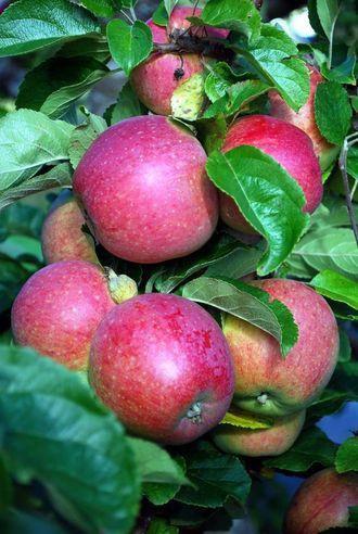 VANSKELEG: Det kan vere vanskeleg for lokalbefolkning og turistar å få tak i lokalprodusert frukt og grønsaker der dei er. Illustrasjons