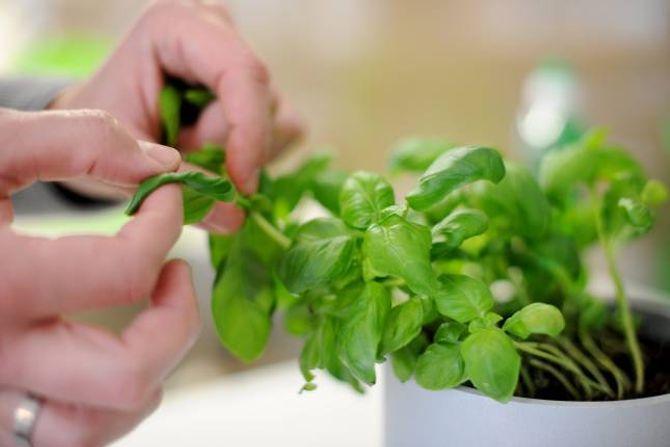FORLENGJER LEVETIDA: Med riktig stell kan krydderplanter du har kjøpt i butikken, vare riktig lenge.