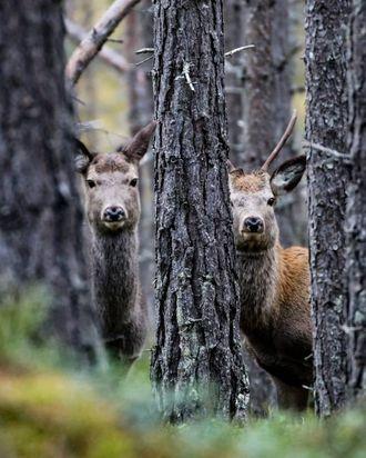 HJORTEDILLA: Morten har i det siste vore mykje ute i skog og mark for å ta dei perfekte hjortebileta