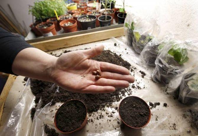 BØNNER: Erter og bønner gir nitrogen til jorda, derfor kan du gjerne la røtene bli verande i jorda etter haustinga.