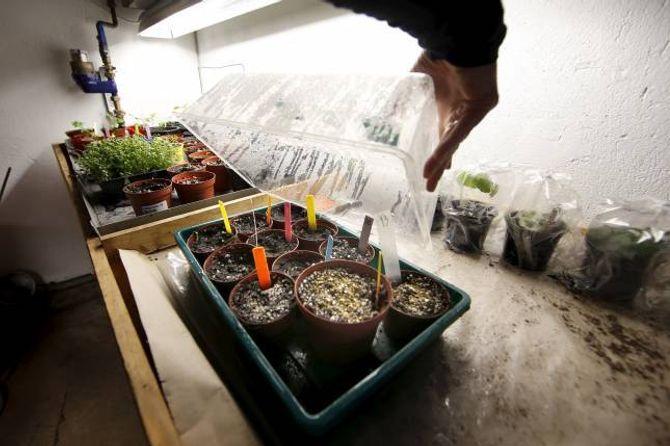 FØRKULTIVERING: Dei plantene du lettast lykkast med, er dei du sår rett i jorda. Mange har likevel godt av nokre veker inne først.
