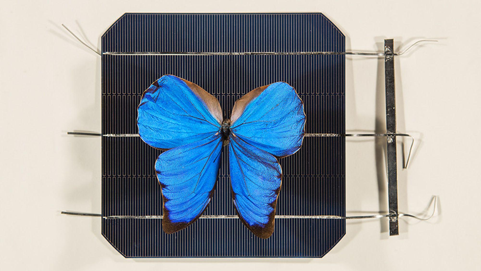 Den peruanske sommerfuglen Morpho Didius har vinger med nanostrukturer som kan gjøre solceller mer effektive.