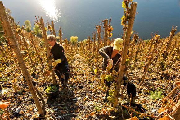 Innhøstning i Goldtröpfchen-vinmarken.