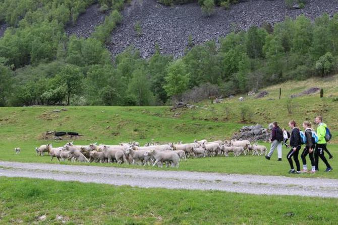 KONTROLL: Etter litt om og men fekk elevane kontroll på sauene etter at flokken vart delt grunna ei utegløymd grind.