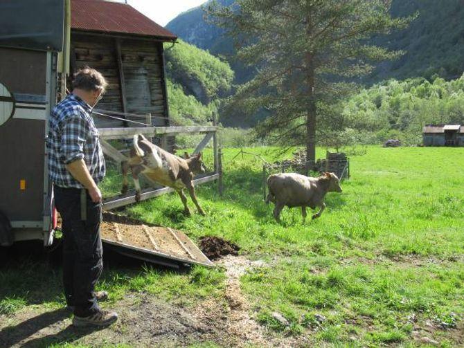 UTI DET FRI: Glade kalvar og kyr blir sleppte i Utladalen. Privat foto