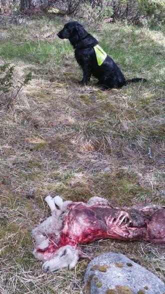 TRENG FLEIRE: Mange sauebønder slit med store tap av sau og lam på utmarksbeite. For å finna døde dyr med dokumenterte tilfelle av rovdyrangrep, ønskjer fleire og fleire å ta i bruk kadaversøkjande hundar.